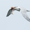 Royal Tern with a Fish