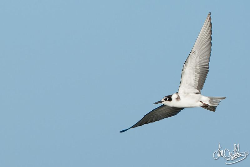 Black Tern (Winter Plumage)