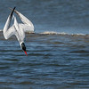 Caspian Tern Diving