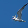 Elegant Tern with pipefish