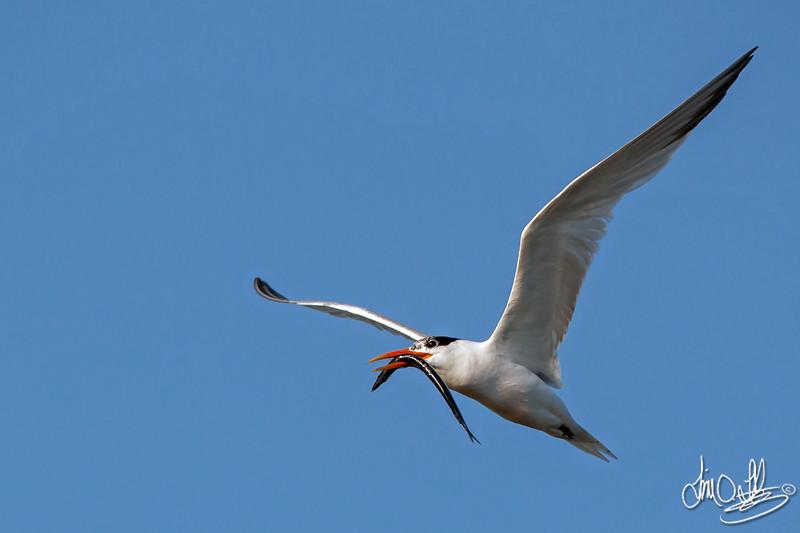 Elegant Tern with a Nice Fish
