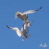 Elegant Terns Bickering