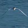 Elegant Tern with a Catch