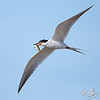 Forster's Tern with a Killifish