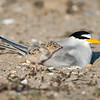 Forster's Tern with Chick