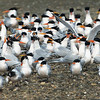 A Cotillion of Elegant Terns