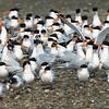 A Cotillion of Elegant Terns