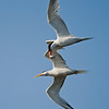 Courting Elegant Terns in flight