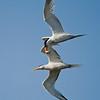 Courting Elegant Terns in flight