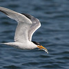 Elegant Tern with a Small Fish