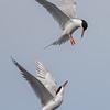 Forster's Tern squabbling