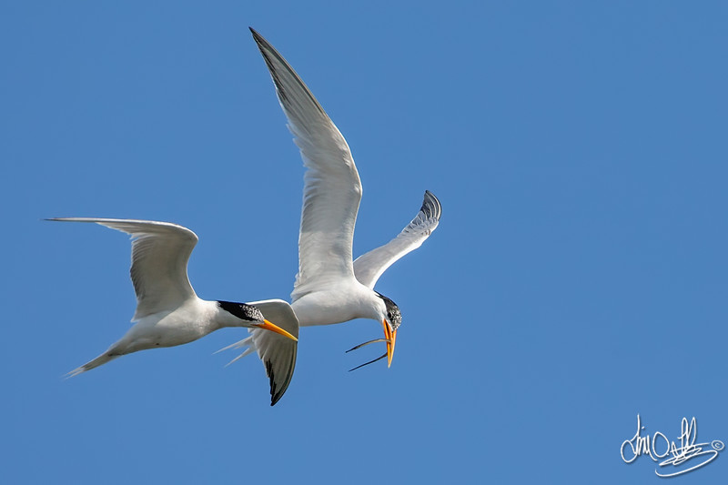Elegant Terns in Courtship Flight with a Pipefish