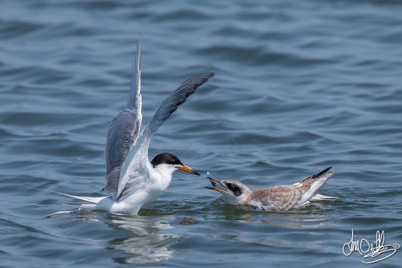 Forster's Tern feeding its fledge