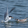 Forster's Tern feeding its fledge