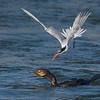 Elegant Tern trying to steal prey from a Double-crested Cormorant
