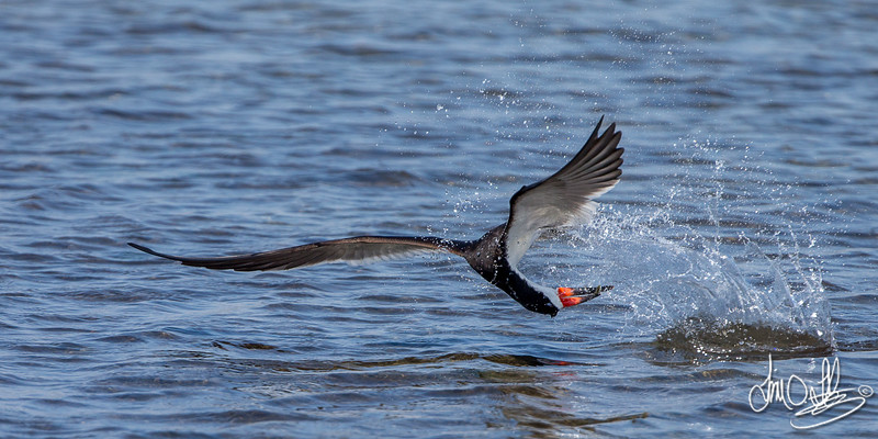 Black Skimmer catching a fish