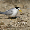Least Tern with newly hatched chicks