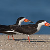 A Pair of Black Skimmers