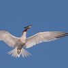 Elegant Tern with a Fresh Fish