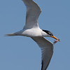 Elegant Tern with an Octopus