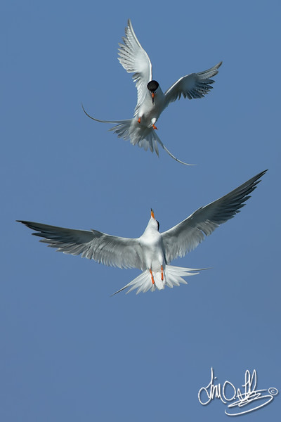 Forster's Terns having a Dispute