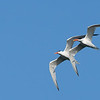 Elegant Terns Courtship Flight