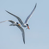 Elegant Tern Courtship Flight
