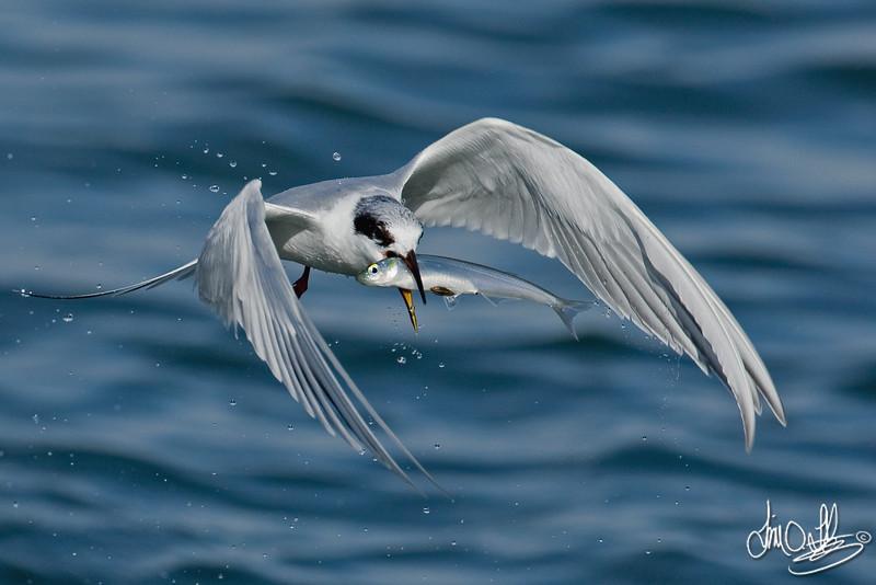 Very Happy Tern