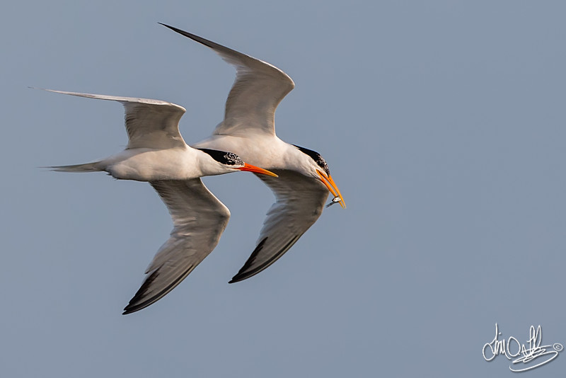 Elegant Terns and Courtship Flight with a Small Fish