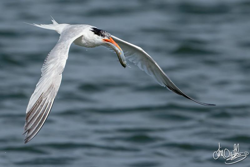 Elegant Tern with a Fish
