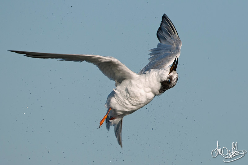 Forster's Tern Shaking off after a Dive
