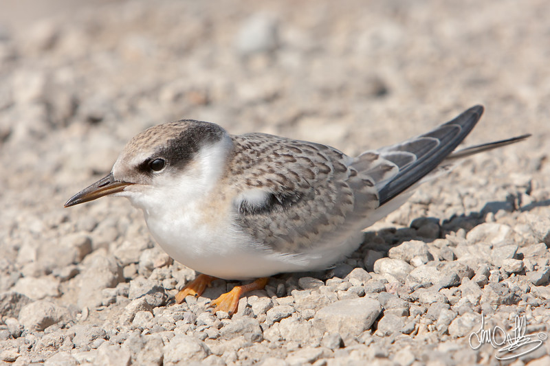 Forster's Tern fledge