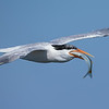Elegant Tern with its Catch