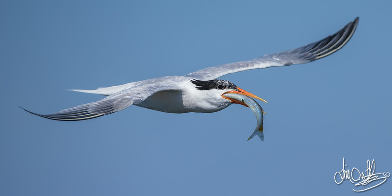 Elegant Tern with its Catch