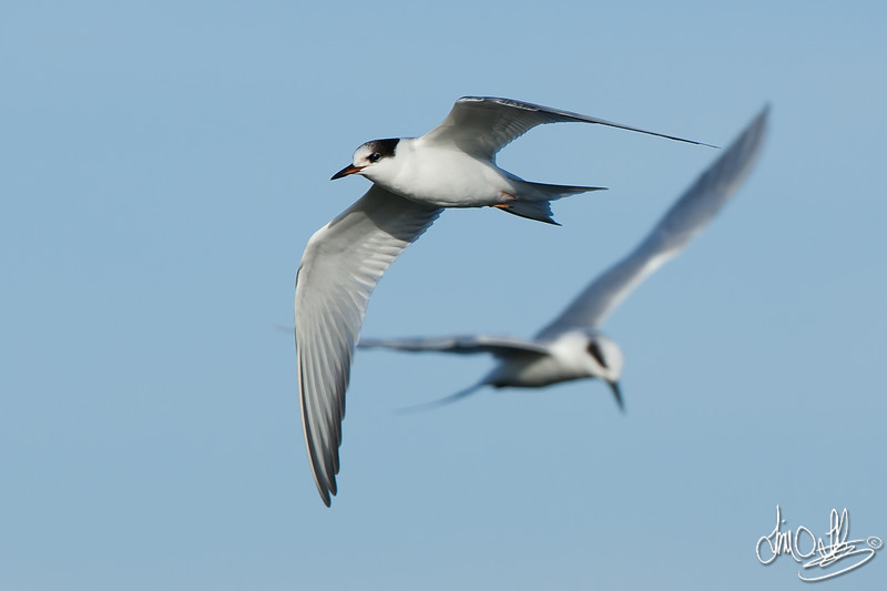 Common Tern (foreground) Forster's Tern (background)