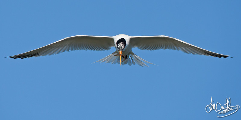 Elegant Tern with a Small Pipefish
