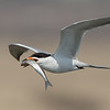 Forster's Tern with a Fresh Catch