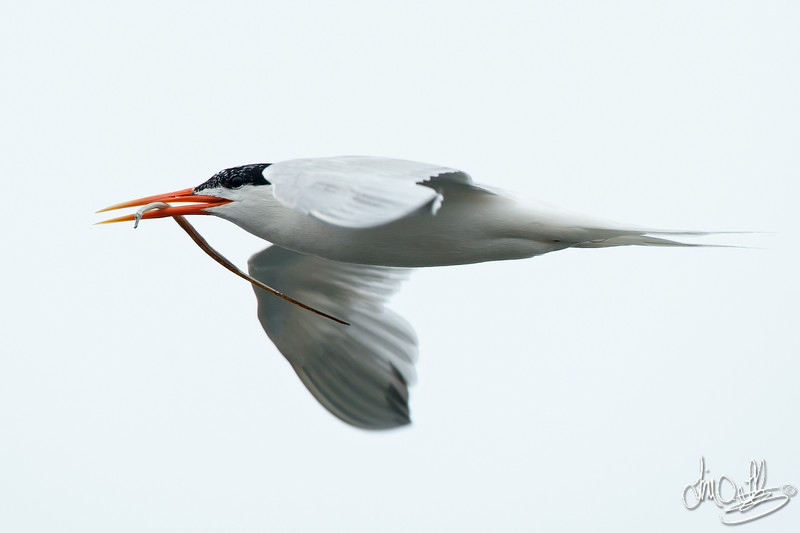 Elegant Tern with a Pipefish