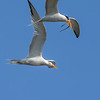 Elegant Terns and Courtship Flight with a Pipefish