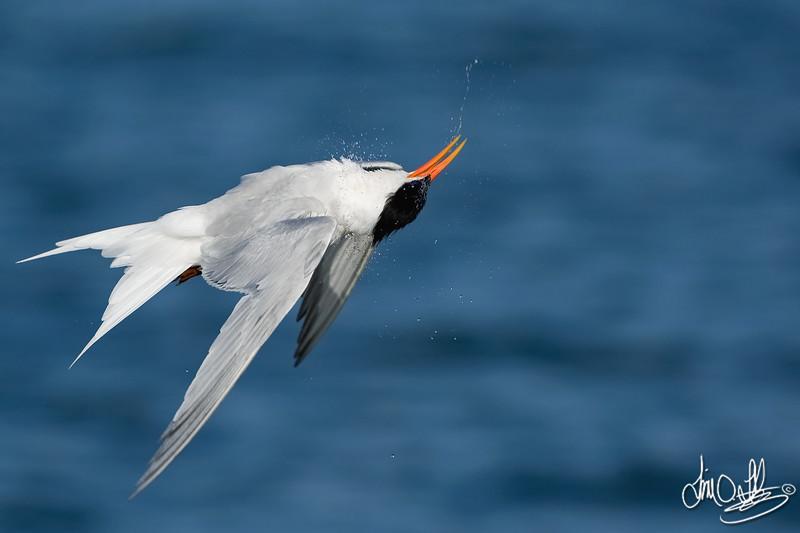 Elegant Tern Shaking off after a Dive