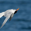 Elegant Tern Shaking off after a Dive