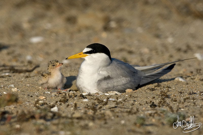 Least Tern with newly hatched chick