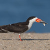 A Black Skimmer Playing with a Shell
