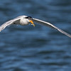 Elegant Tern with it's Catch
