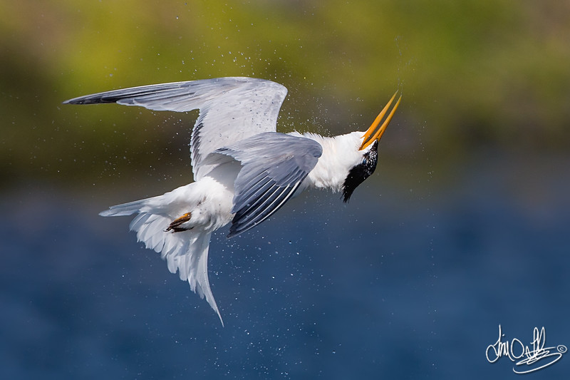 Elegant Tern shaking off after a dive, a fun and unique shot to get.