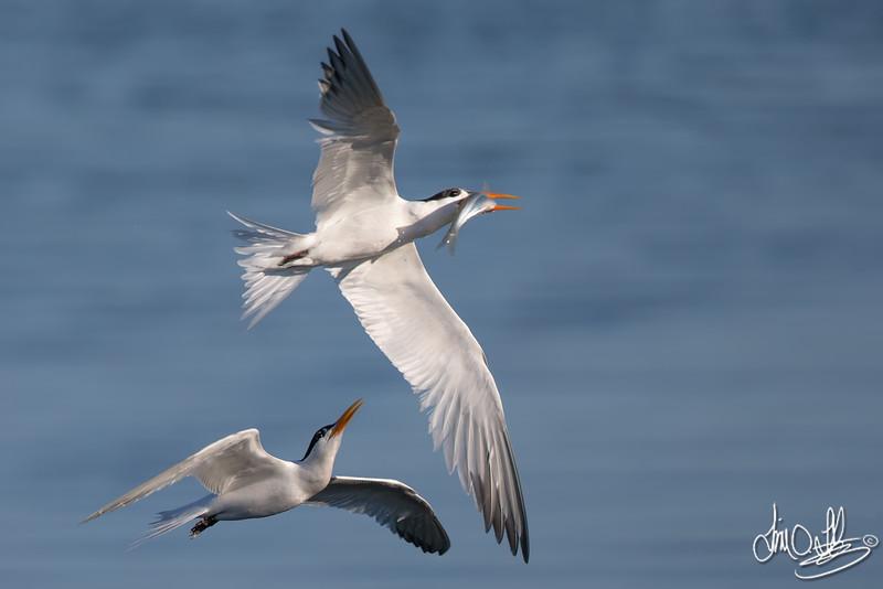 Elegant Terns Racing over the Water