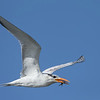 Royal Tern with a small Pompano