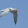 Royal Tern with a Catch