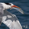 Elegant Tern with speared fish