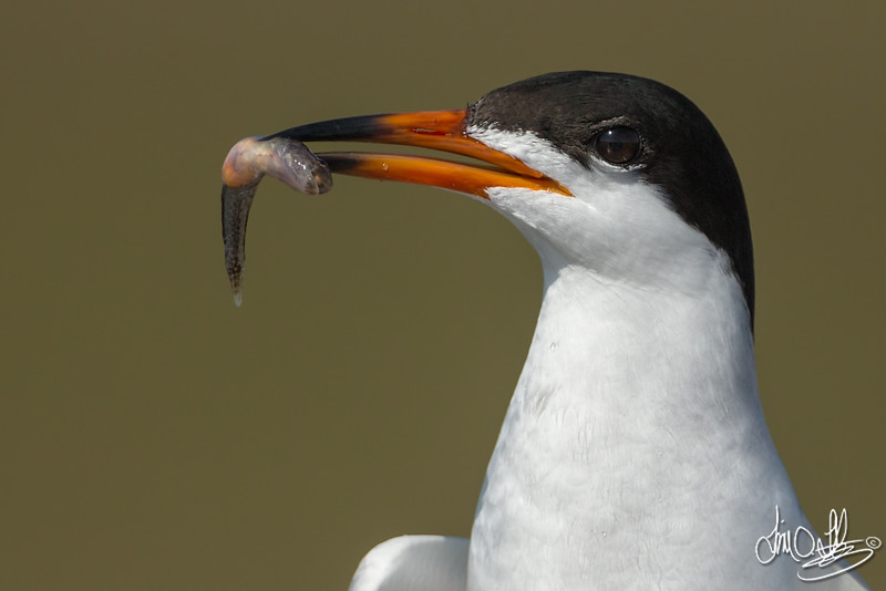 Forster's Tern with a Courtship Treat